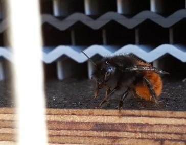 Eine der ersten bei uns geschlüpften Wildbienen